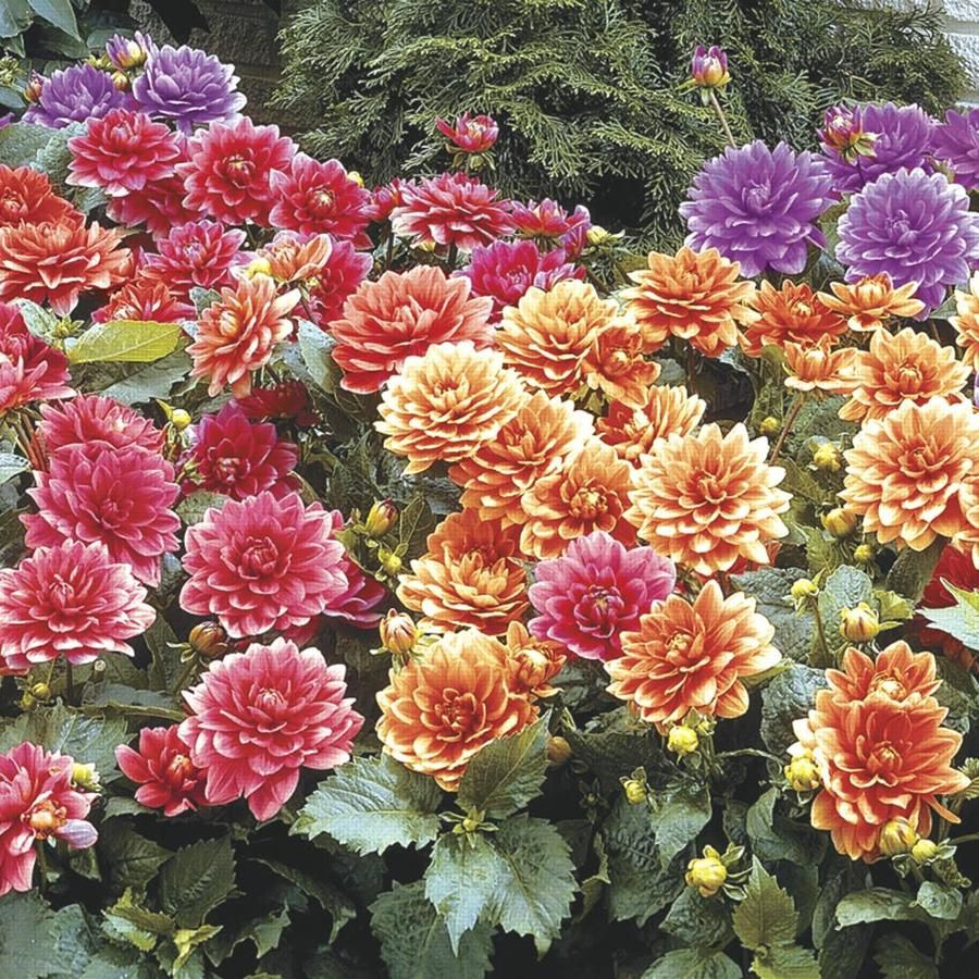 Gardens Alive 3 Pack Mixed Border Dahlia Bulbs Lowes Com In 2020 Planting Dahlias Fall Plants Winter Plants