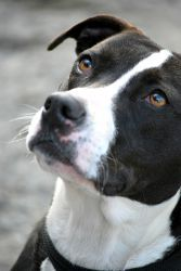 I Found Hadley 0 Adoption Fee On Adoptable Dogs Collie Dogs