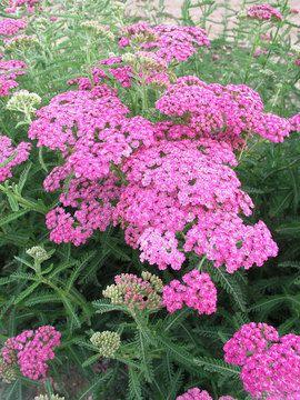 Achillea Richard Nelson Pink Perennials Flowers Perennials Plants