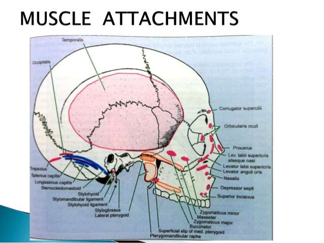 muscle attachments of mastoid process - Google Search | Anatomy ...