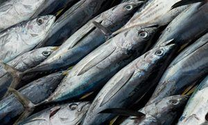 More than 40% of popular species such as tuna are being caught unsustainably, UN FAO says. Global fish production approaching sustainable limit, UN warns  Around 90% of the world's stocks are now fully or overfished and production is set to increase further by 2025, according to report from UN's food body