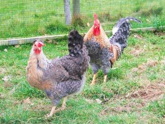 Cream Legbars - Rosie's Rare Breed Poultry