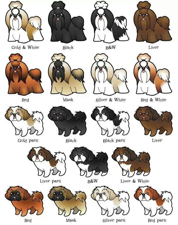 Great Color And Pattern Chart For Shih Tzu Shih Tzu Puppy