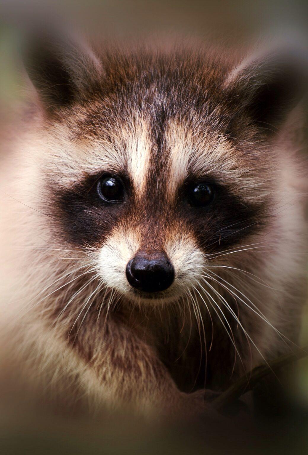 Cool animal background Cute raccoon, Cute dogs, Animals wild
