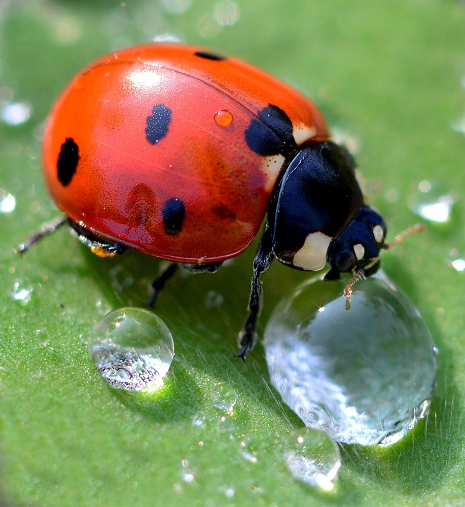 10 fascinating facts about ladybugs ladybug lady bugs and flower