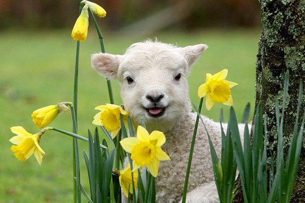 Happy Easter | inotternews.com | Animals & Nature in Spring & Summer | Pinterest | Lambs, Happy ... - photo#11
