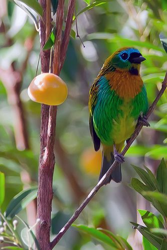 Brassy-breasted Tanager by Schinke