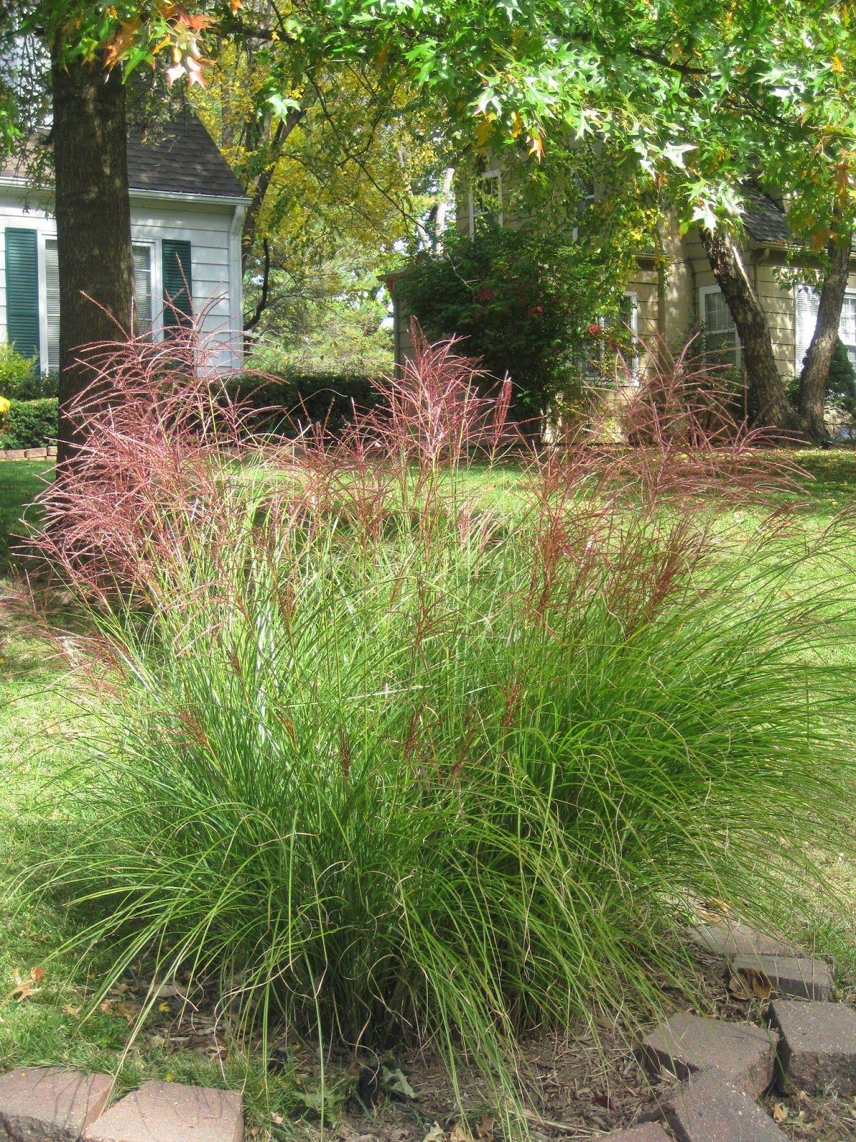 Fountain grass in the Fall
