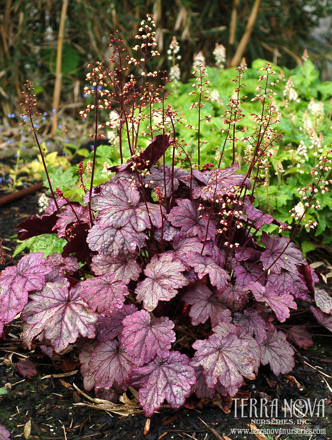 Heuchera Sugar Plum Frosty Plum Purple Leaves In Spring And Fall