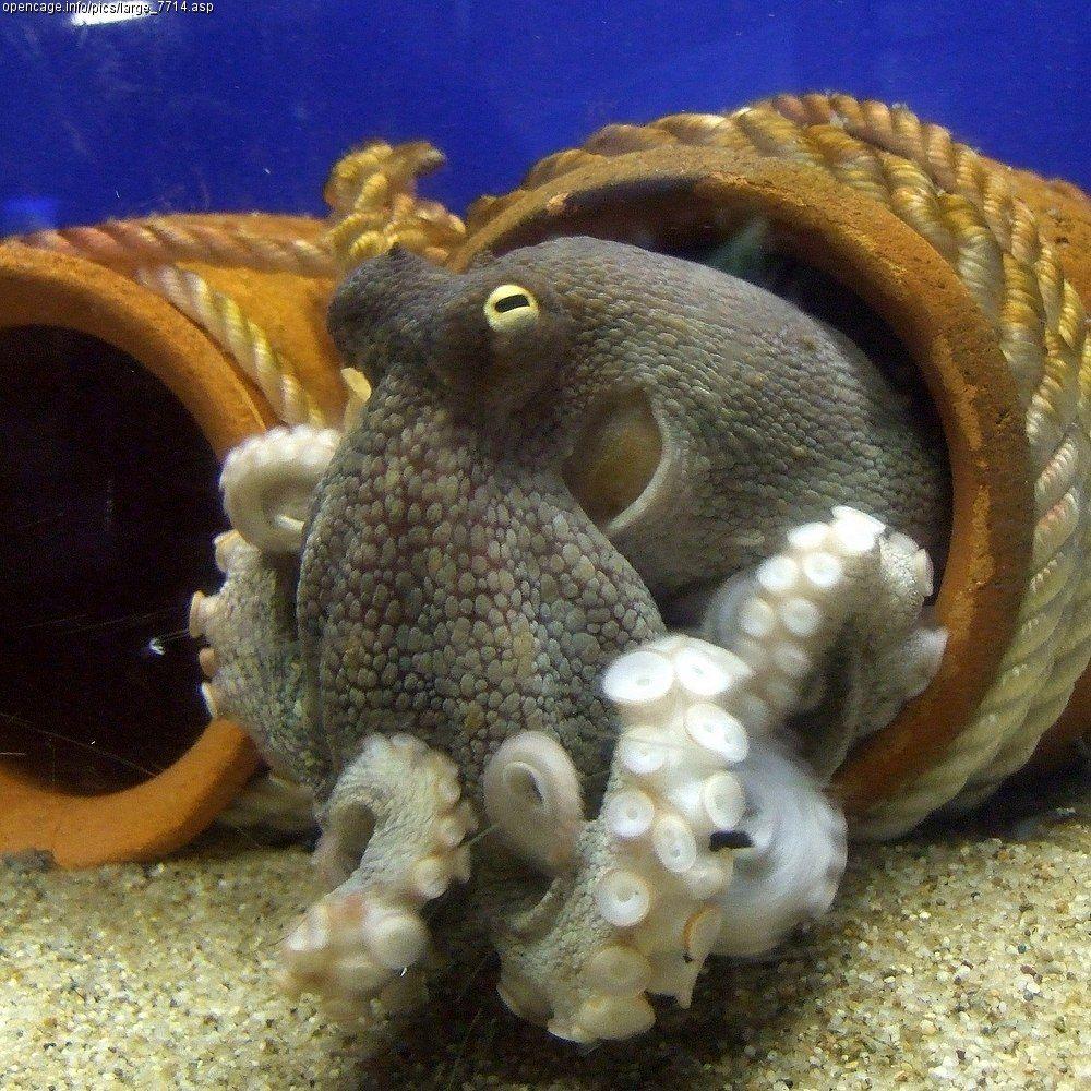 Осьминог | Осьминоги, Октопус и Животные