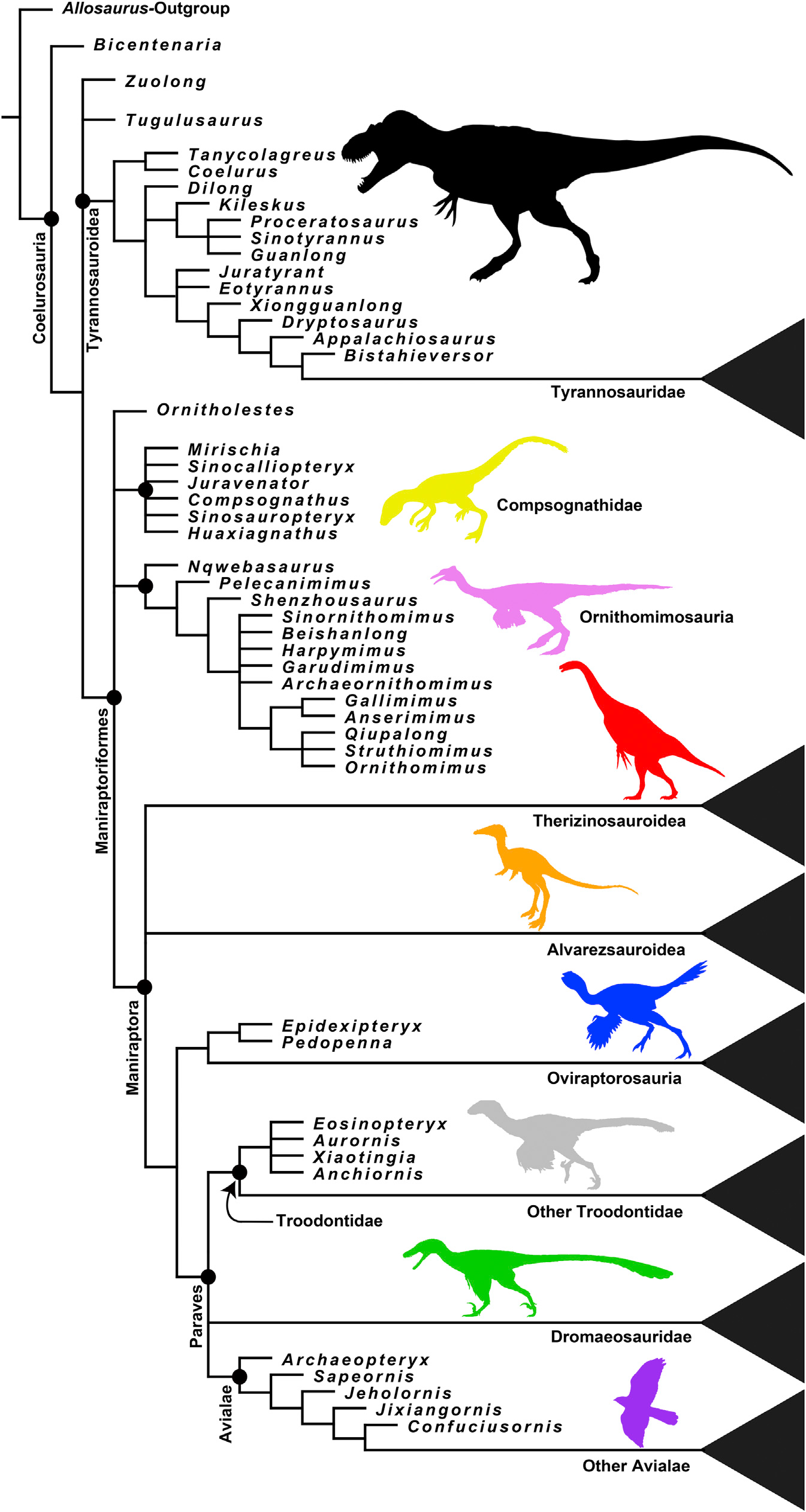 This is the phylogeny that Brusatte et al constructed for their study. You can see that birds are in a polytomy with dromaeosaurids and troodontids at the bottom. Taken from Brusatte et al 2014.