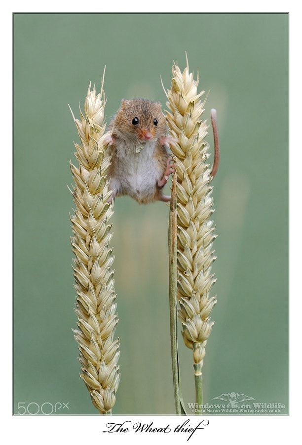 The wheat thief ! by DeanMason