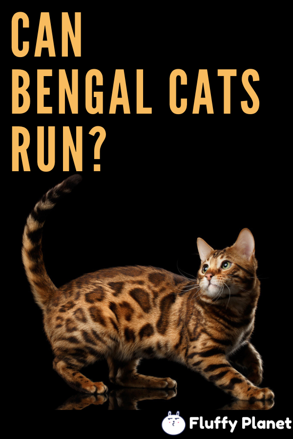 Pin On Bengal Cats