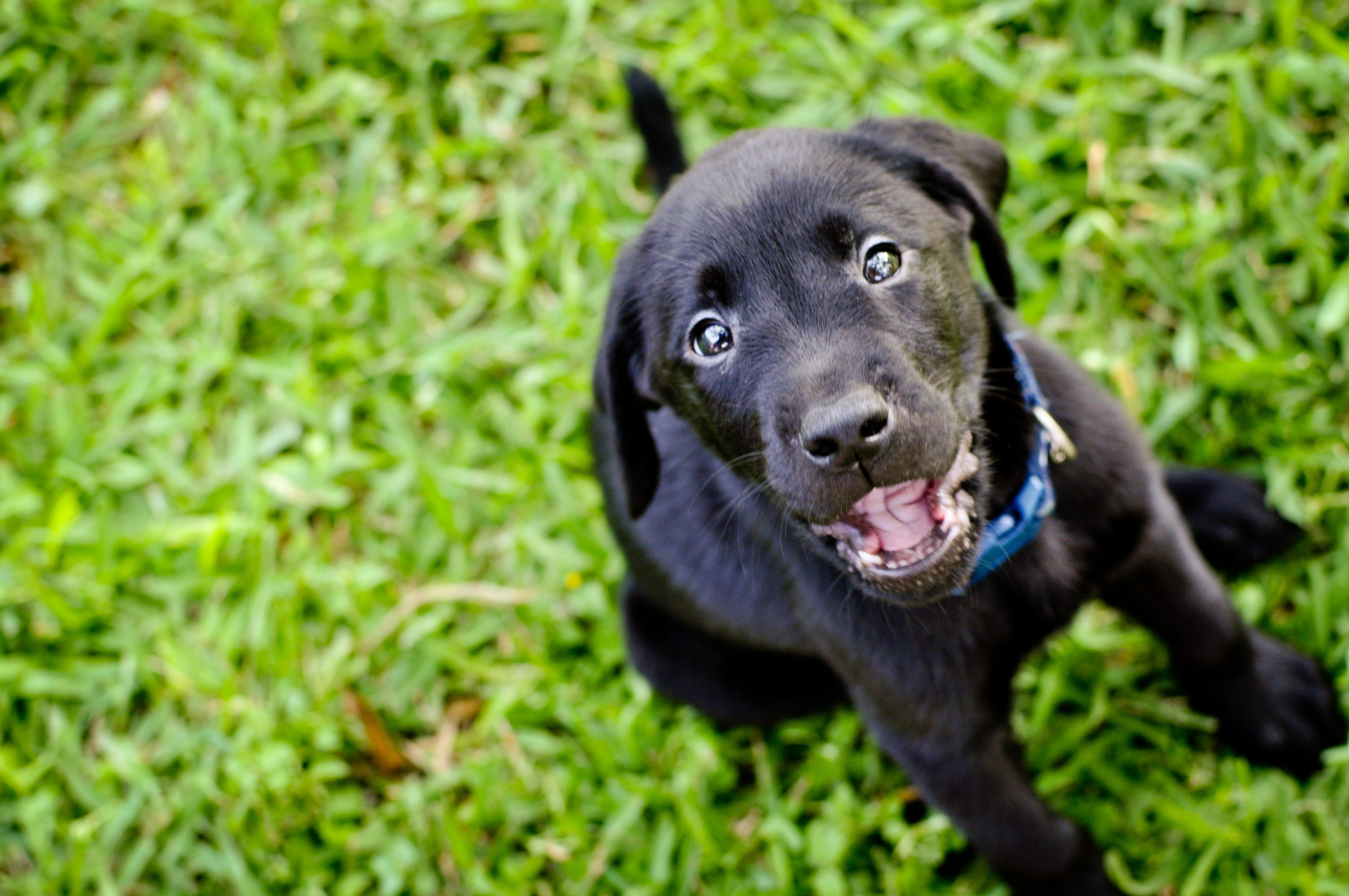 British Lab Puppies For Sale In Texas References