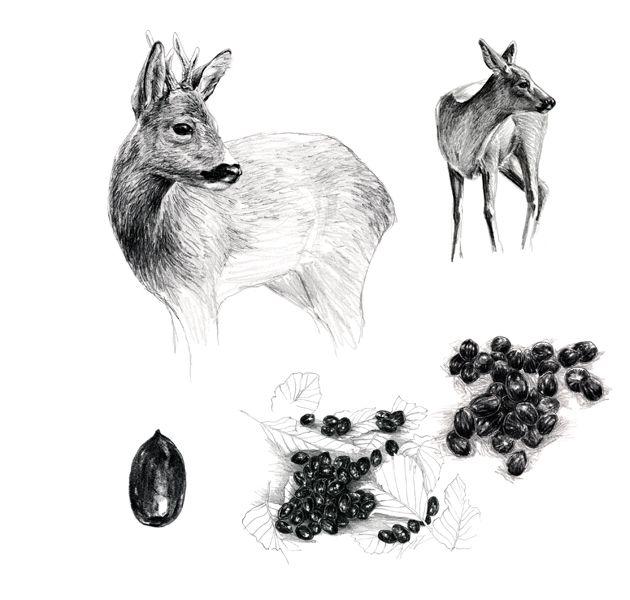 Chevreuil | dessin | Pinterest | Roe deer, Illustrations ...