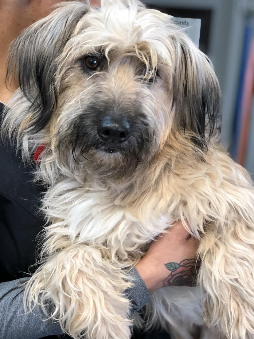 Adopt Caramello On Petfinder Wheaten Terrier Mix Dog Adoption