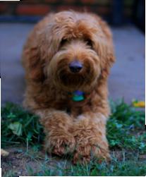 Twizzler & Kokopeli | Labradoodle, Australian labradoodle Puppy For Sale In Western Australia