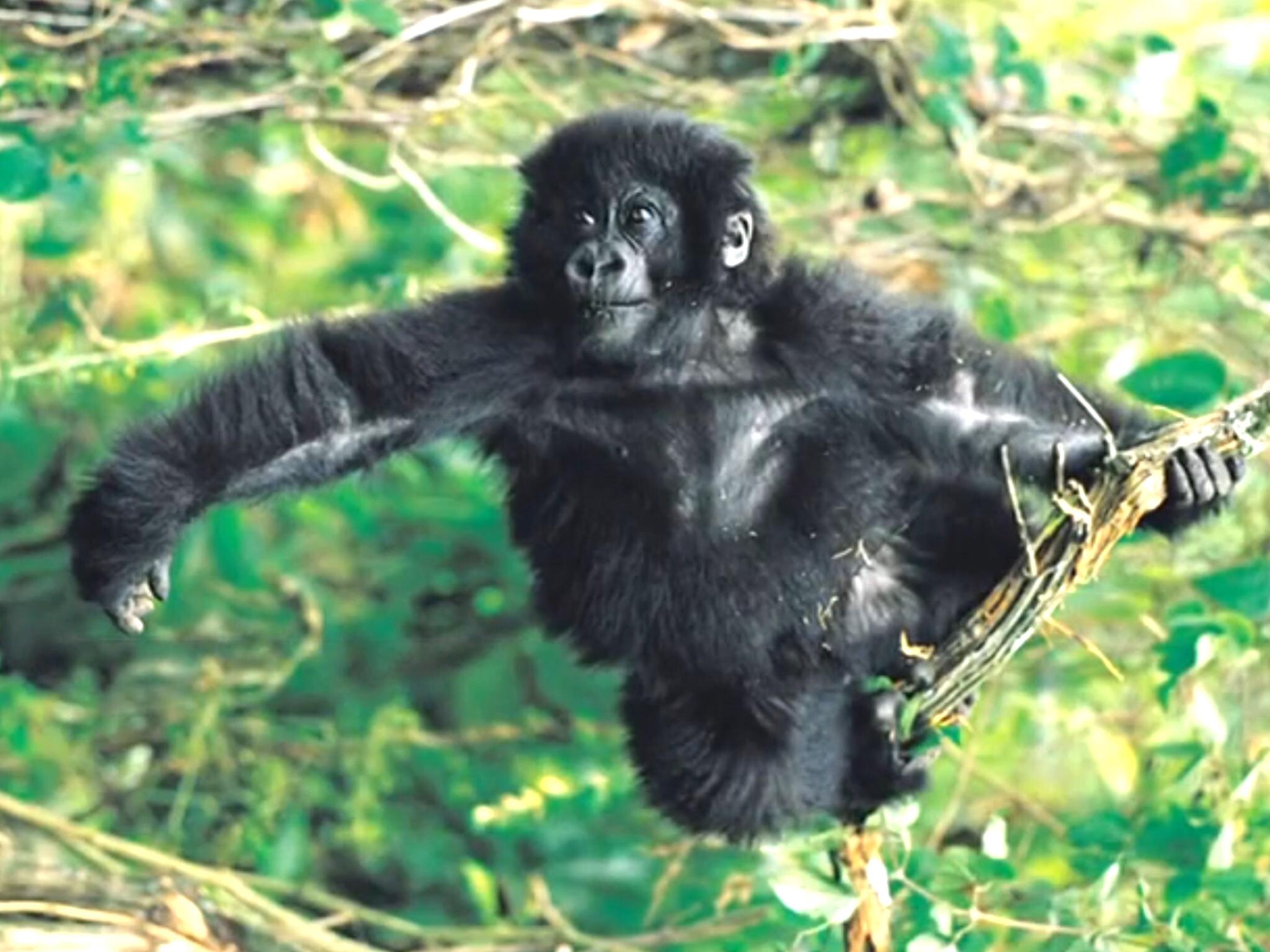 Gorilla | Baby Einstein Animals Pictures | Animals ...