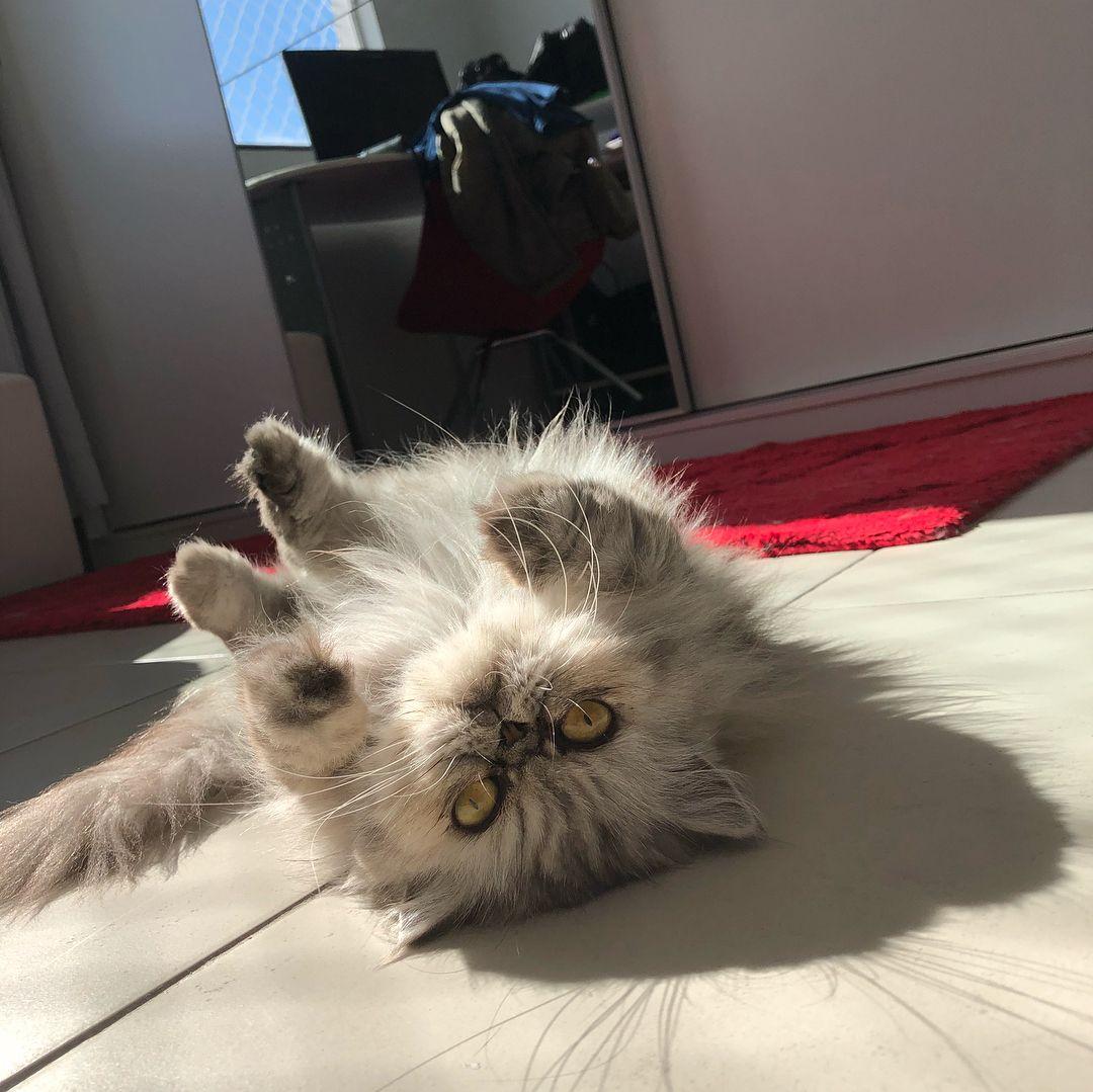 Porque nós amamos banho de sol ficando quentinhas e felizes e ainda jogamos charme   #mialolacats #instacat #catlovers #felinos #amor #meow #gatosdeinstagram #cat #love #catsofinstagram #pets #instapets #petsofinstagram #gato_cats #catoftheday #cat #catstagram #persiancatlover #persacat #persiancats #persacatlovers #persiancatstagram #persacatgirl #gatopersa #gatopersaexotico #gatopersabrasil #persiancatlove #lovecats