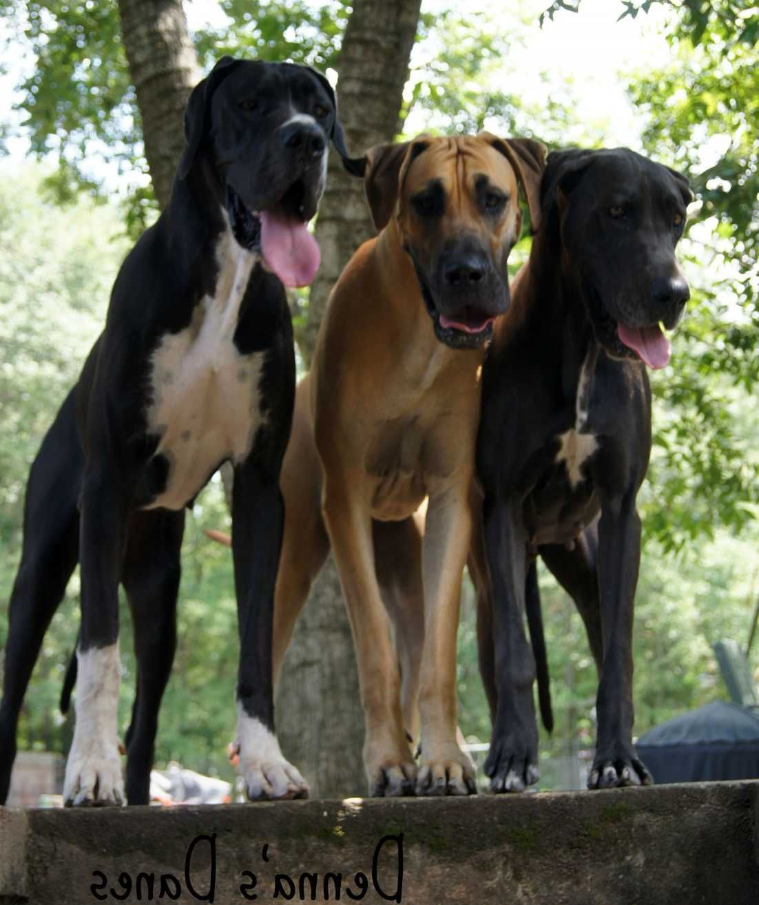 Where to Get Tucson Great Dane Rescue (With images