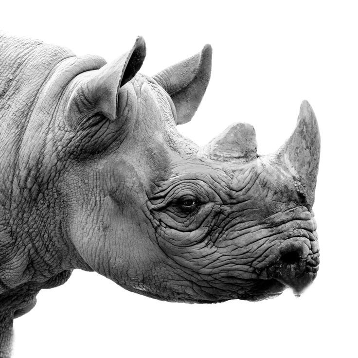Photo of Rhino Black and white Giclee print. Animal fine art photography in multiple sizes and mount o…