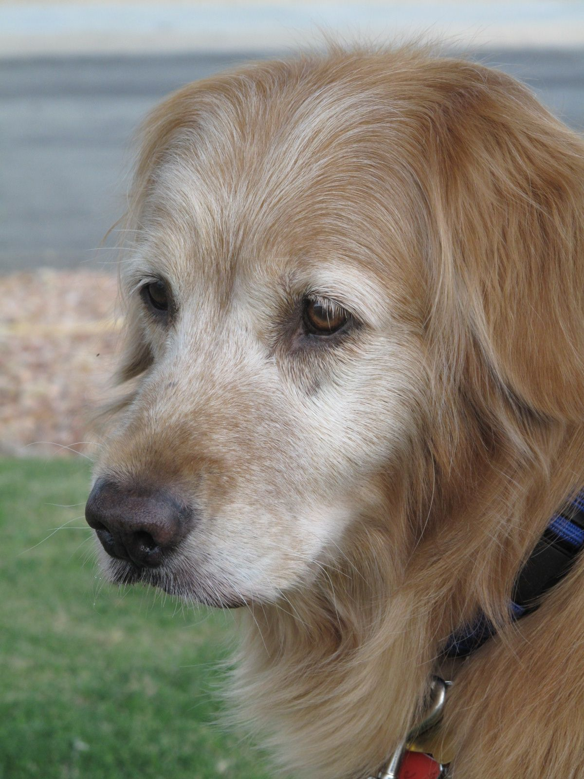Meet Macee Southern California Golden Retriever Rescue