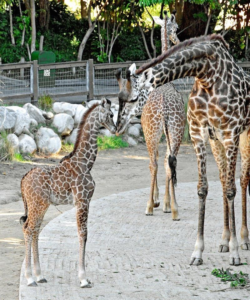 L A Zoo Welcomes Adorable Baby Otter Pups And Giraffe Giraffe Cute Wild Animals Baby Giraffe