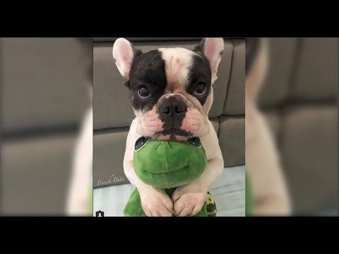 Funny French Bulldog Compilation - YouTube #buldog