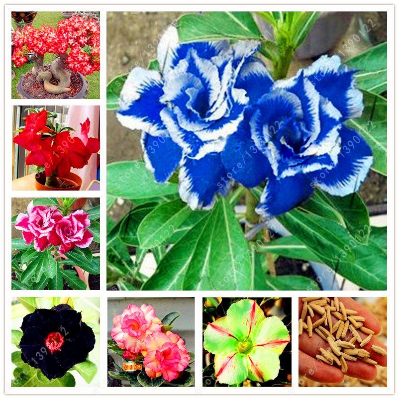Coupon Code2 pcs/bag Desert Rose seeds adenium obesum seeds Bonsai ...