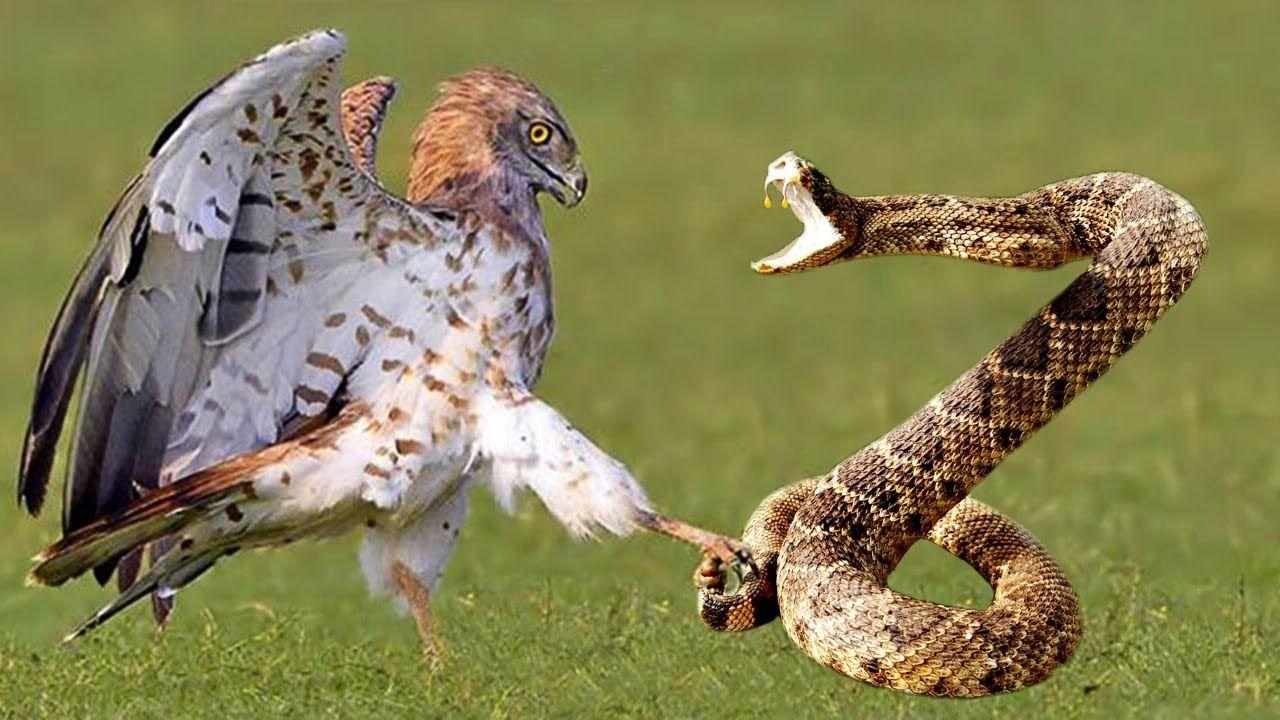 cool Eagle Vs Cobra Real Fight Bird Vs Snake Amazing