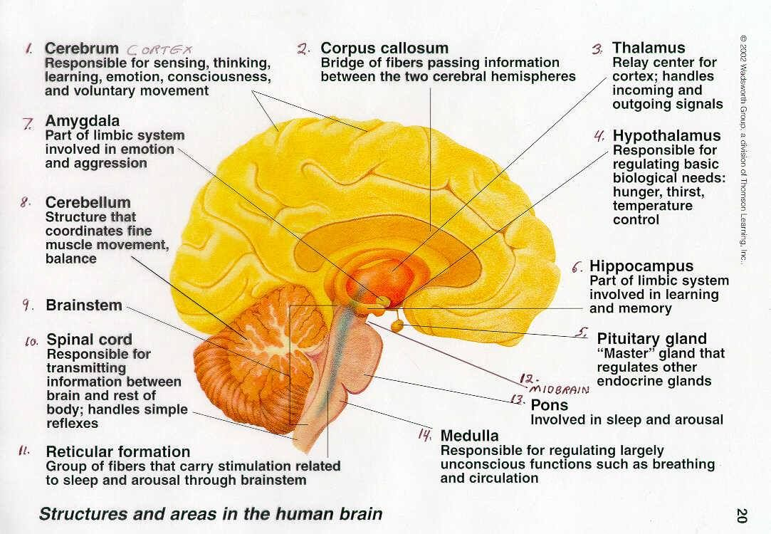 Brain Diagram Pons Semi Trailer Pigtail Wiring Anatomy Amygdala Cerebellum Brainstem Medulla Hippocampus Thalamus Hypothalamus