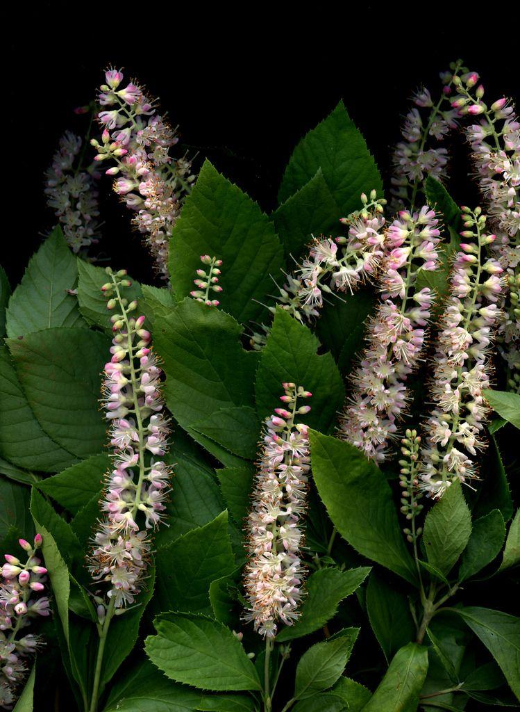 56144.01 Clethra alnifolia 'Rosea' Plants, Plant leaves
