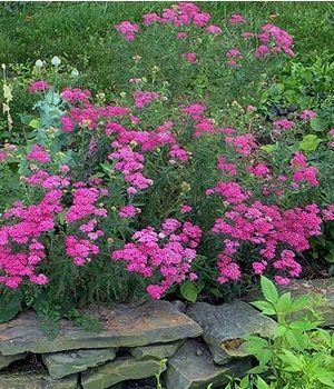 Graceful Gardens Achillea Cerise Queen New Garden Flowers Perennials Deer Resistant Plants Deer Resistant Perennials