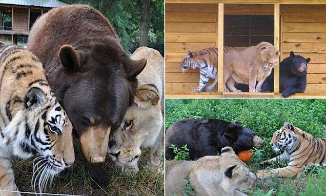 Meet The Brown Bear Who Is Best Friends With A Lion And A Tiger - Lion tiger bear best friends