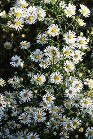 Wildflower Heath Aster Aster Ericoides Not Only Does Heath Aster Produce A Blizzard Of Bright White Flowers In Late Aster Flower Wild Flowers Native Plants