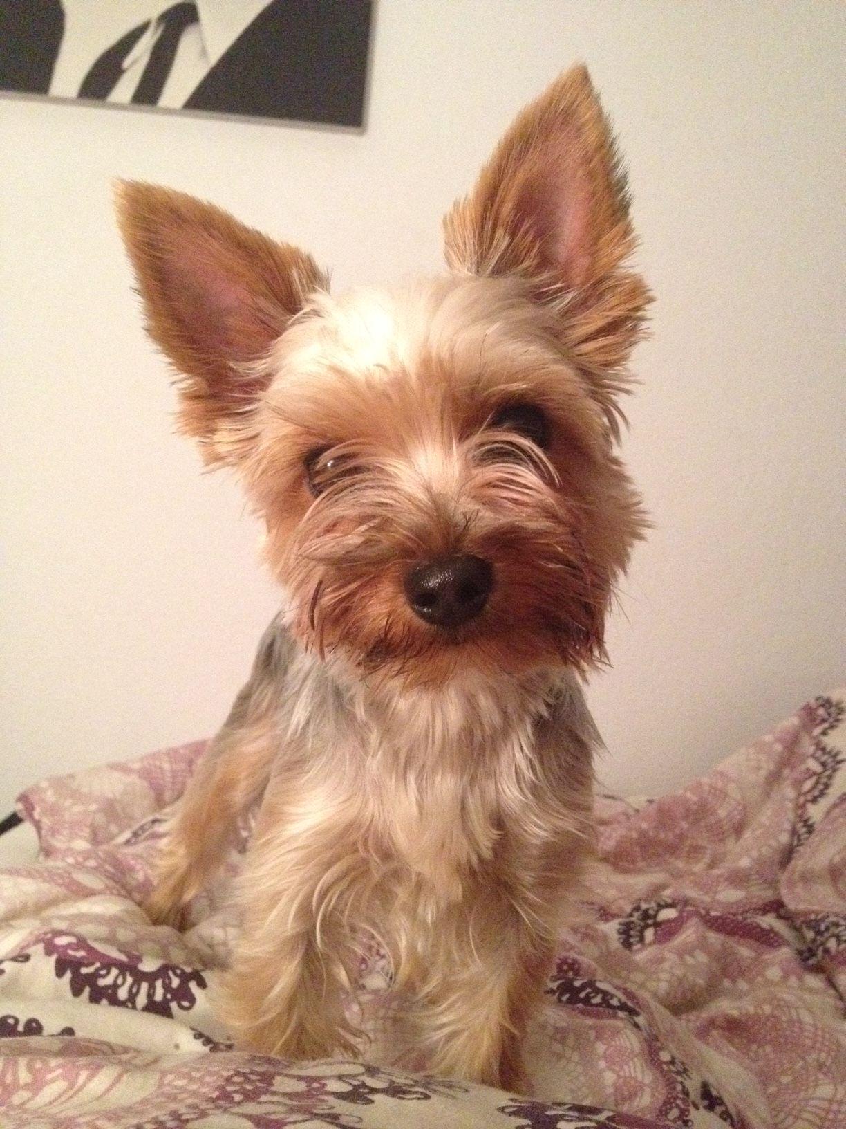 Lizzy Yorkshire Terrier Pawshake Hunde, Jungs