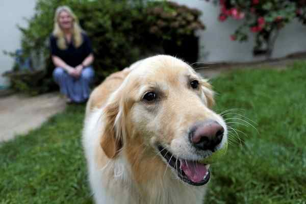 Brewer A 4 Year Old Golden Retriever Hams It Up As Owner Leona