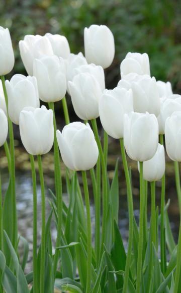 Zwiebelblumen Für Weiße Gärten Tulpen Im Garten Tipps Rund Um Die Pflege Fur Die Fruhlingsblumen