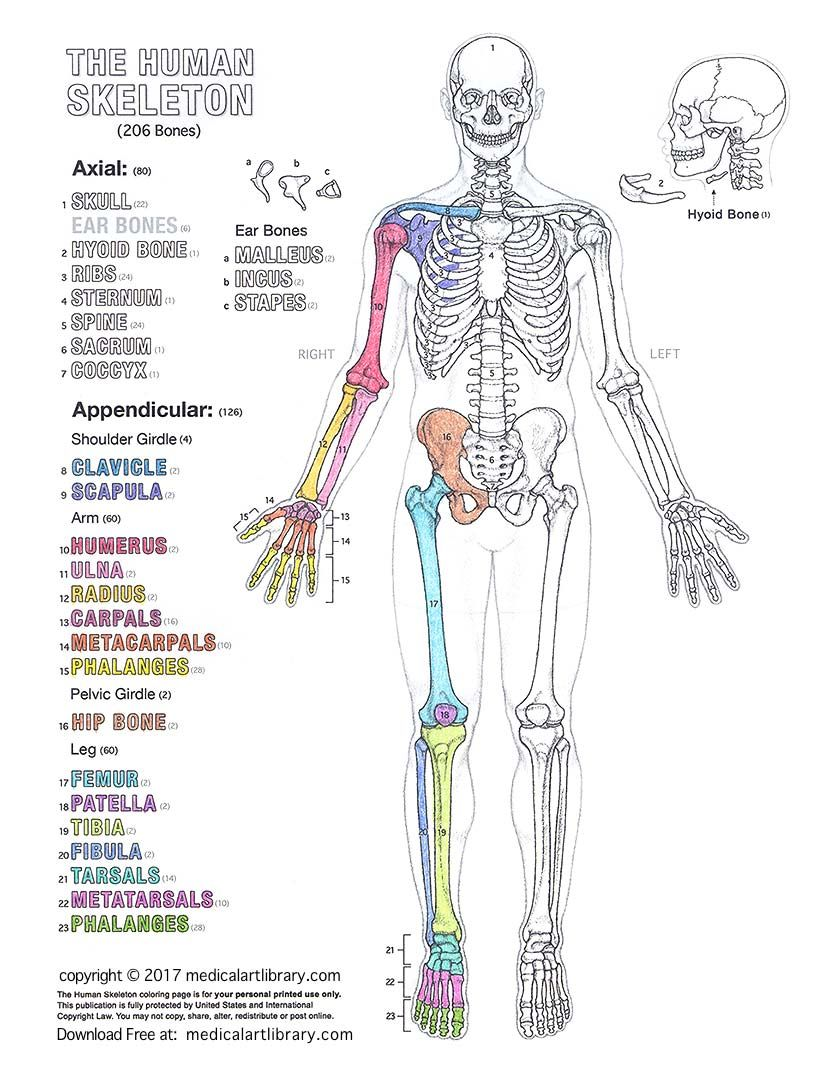 learn anatomy as you browse our collection of colorful large and clearly labeled human body diagrams for teachers students health professionals  [ 835 x 1080 Pixel ]