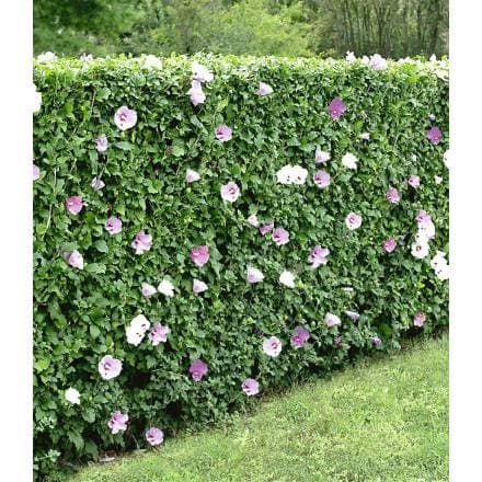 hibiskus hecke 10 pflanzen baldur garten gmbh garten pinterest hibiskus hecke hibiskus. Black Bedroom Furniture Sets. Home Design Ideas
