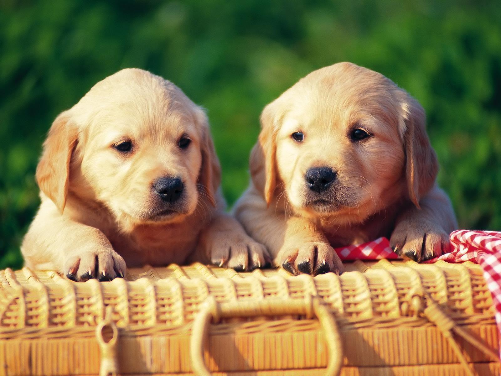 Trop mignons des couples de chiots fonds d 39 cran gratuits by unesourisetmoi animaux dogs - Golden retriever gratuit ...