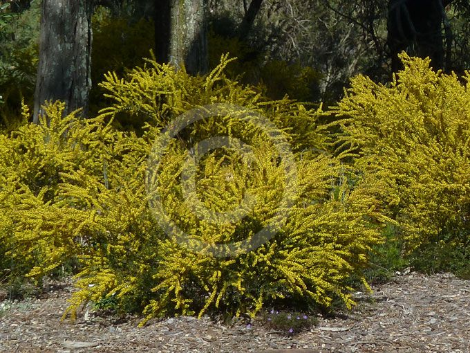 Gold Dust Wattle Acacia Acinacea Ruby Tips Google Search