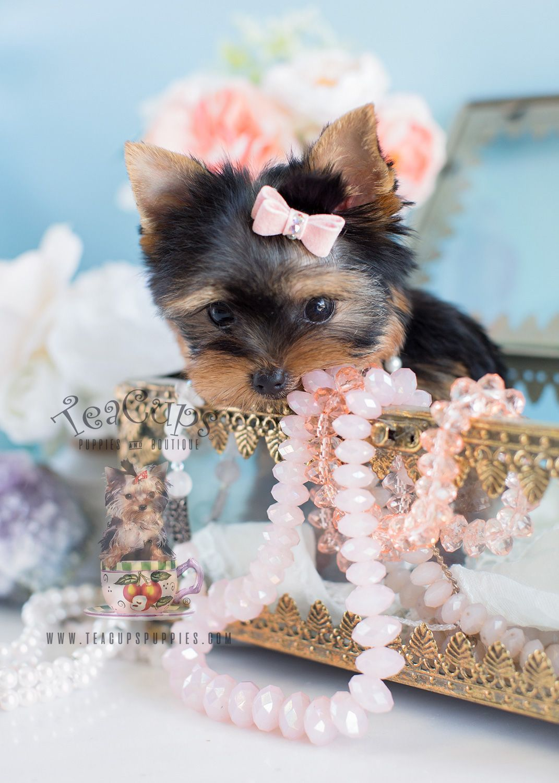 Teacup Yorkie Puppy For Sale By Teacupspuppies Com Yorkshire Terrier Terrier Dieren