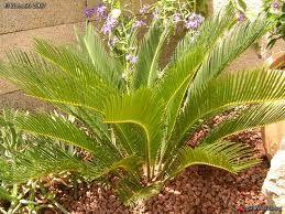 cicas petit palmier listing plantes pinterest petits palmiers et palmiers. Black Bedroom Furniture Sets. Home Design Ideas