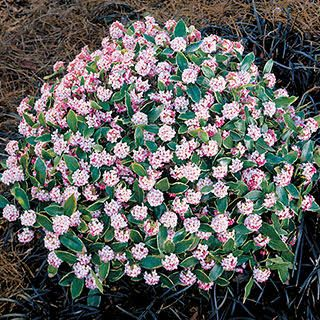 Variegated Daphne Best Evergreen Shrubs For Shade Google