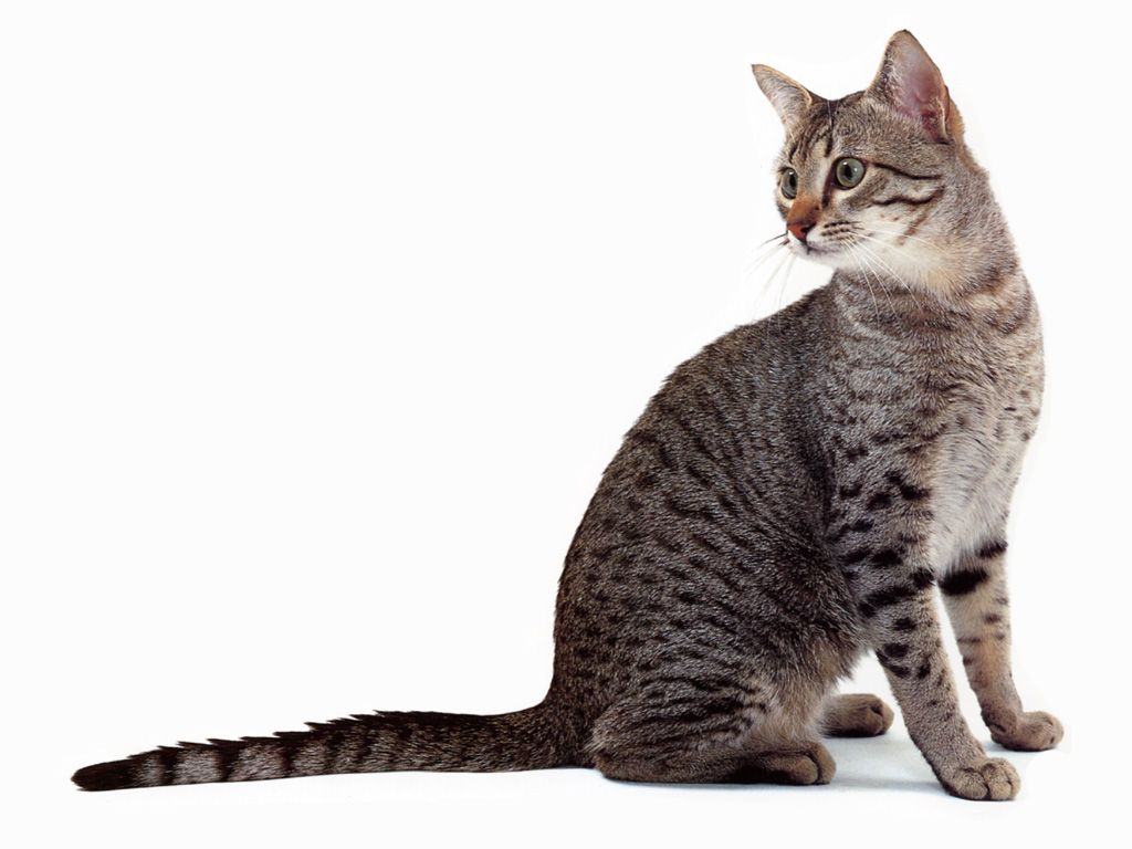 Egyptian Mau Extremely Intelligent Fiercely Loyal And Moderately Active Breed They Love To Hunt And Will Egyptian Mau Cat Breeds With Pictures Cat Breeds