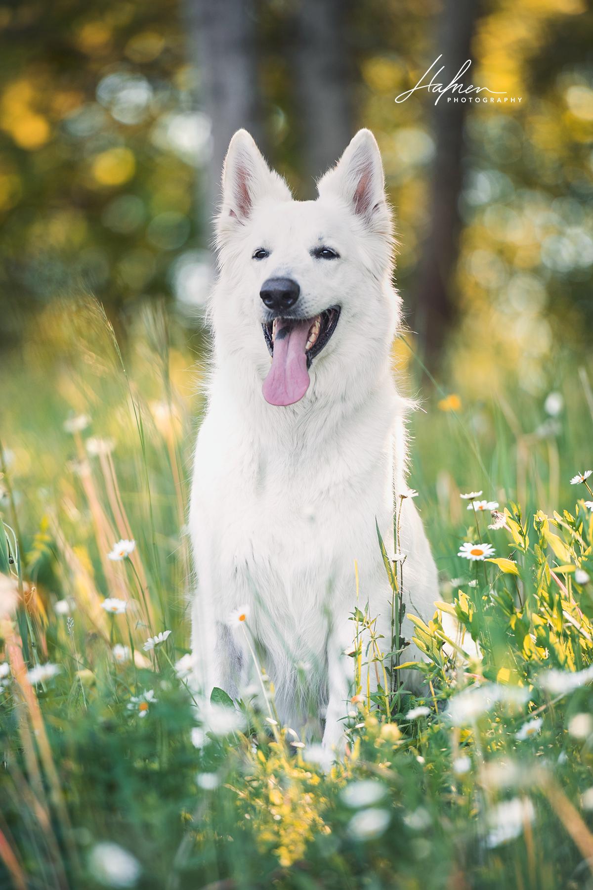 Weisser schweizer Schäferhund sitz im Frühling Hund
