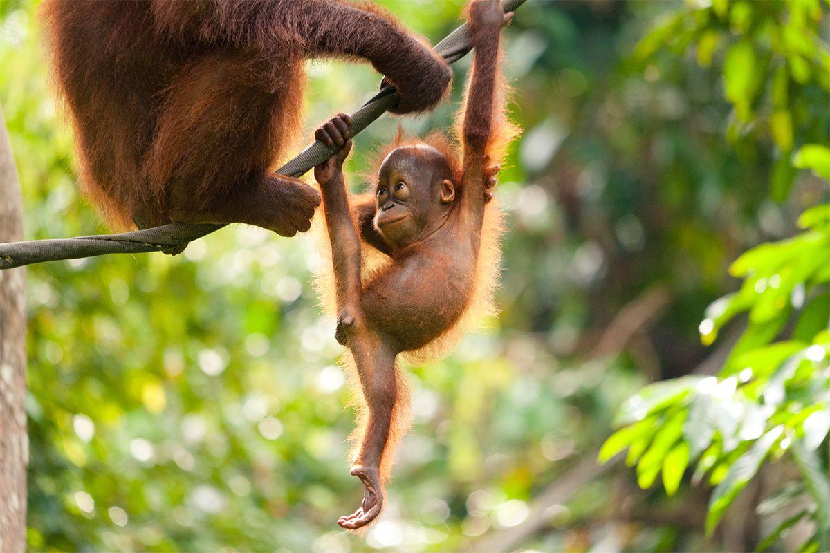 Seperti Kera Kena Belacan Like A Monkey Who Eats Belacan Luxly Indonesia Kalimantan Orang