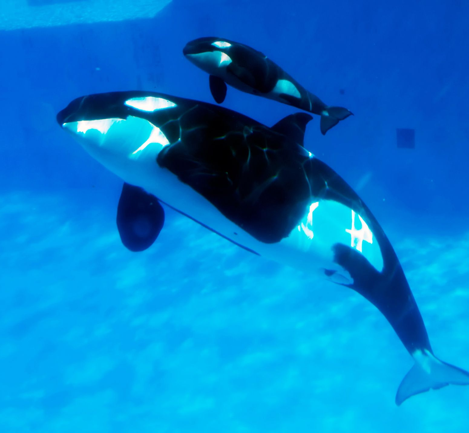 Baby Orcas Being Born - wallpaper. | Ocean Blue - Creatures ...