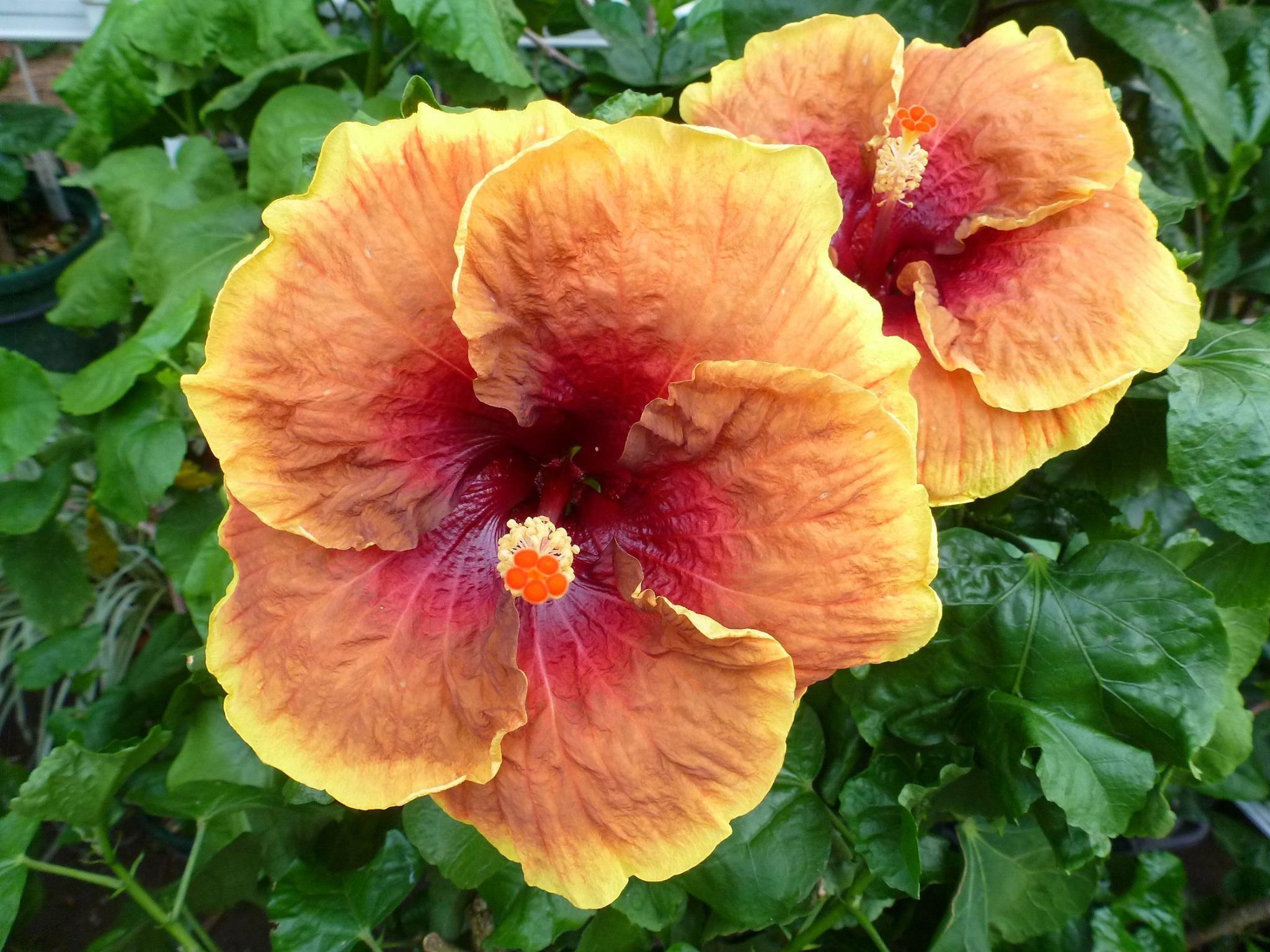 Hibiscus voodoo magic hibiscus pinterest voodoo magic flowers izmirmasajfo
